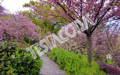 Japanese garden cherry trees