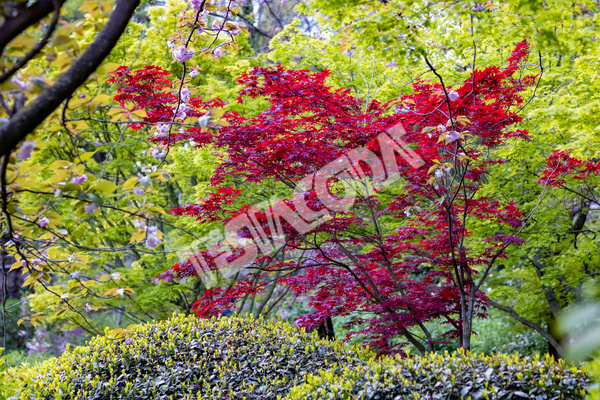Red and green Maple with Cherry flowers