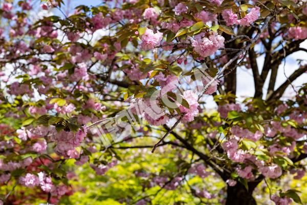 Cherry trees in the Botanical Garden