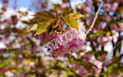 A Cherry flower in the Botanical Garden