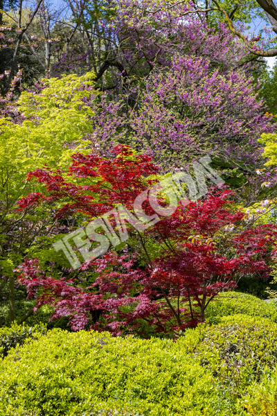 Red and green Maple with some Cherry trees